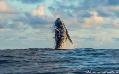 La migración de las Ballenas Jorobadas